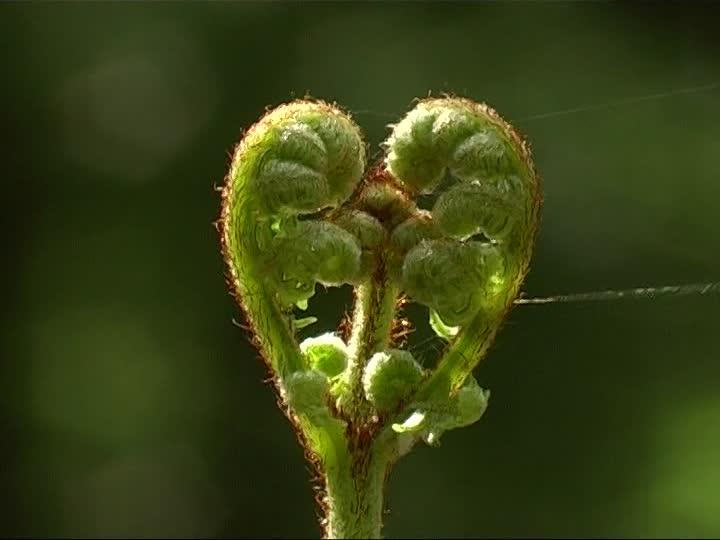 676024187-felce-aquilina-germoglio-cuore-simbolo-nuova-vita