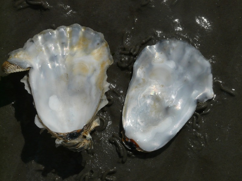 oyster-57650_1920